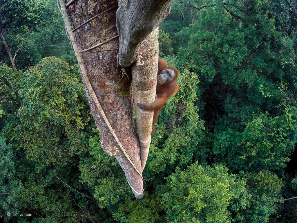 tim-laman_wildlife-photographer-of-the-year_-grand-title-winner-copy
