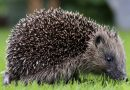 Give hedgehogs a helping hand in Knowle West